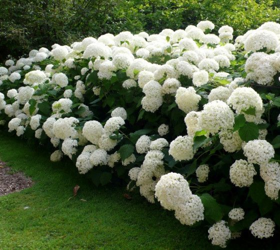 Japanese snowball viburnum or Doublefile Viburnum, with pure white blooms in spring.