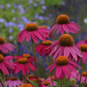 "1 Gallon Pot: Echinacea purpurea 'Pow Wow Wild Berry' Coneflower. Deep magenta flowers 3-4"" across, retains blooms and color longer, no deadheading, prefers well drained soil, heat and humidity tolerant. 2010 AAS Award."