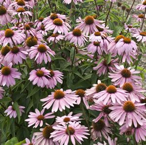 1 Gallon Pot: Echinacea purpurea 'Magnus' Coneflower. Purple blooms flower May-September, moist soil is best but will tolerate dry. 1998 Perennial Plant Of The Year. PIXIESDS_EGN