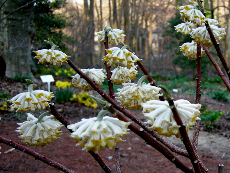 (1 Gallon)     EDGEWORTHIA (Winter Gold or Paper bush)  The flowers appear on the branch tips like little suns. Flower Buds open from January to April, producing an EXTREMELY fragrant display of  Golden Yellow Flowers, the fragrance can be smelt some dist