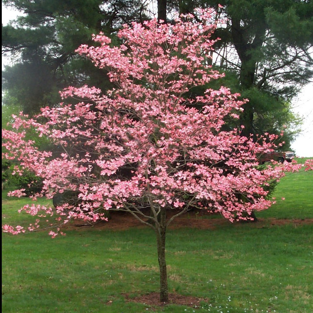 PINK DOGWOOD Tree, Gorgeous Rose Pink flowers in Spring, vibrant red berries, green leaves turn crimson in Fall. PIXIES_DUD