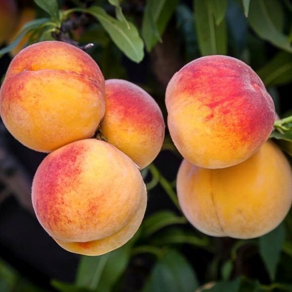 ELBERTA PEACH Tree, One of the Most Beautiful and Useful Peach Trees. Large, Yellow with a Red Blush. Yellow Flesh, Very Juicy, Good flavor, Freestone, Ripens Late. Grafted