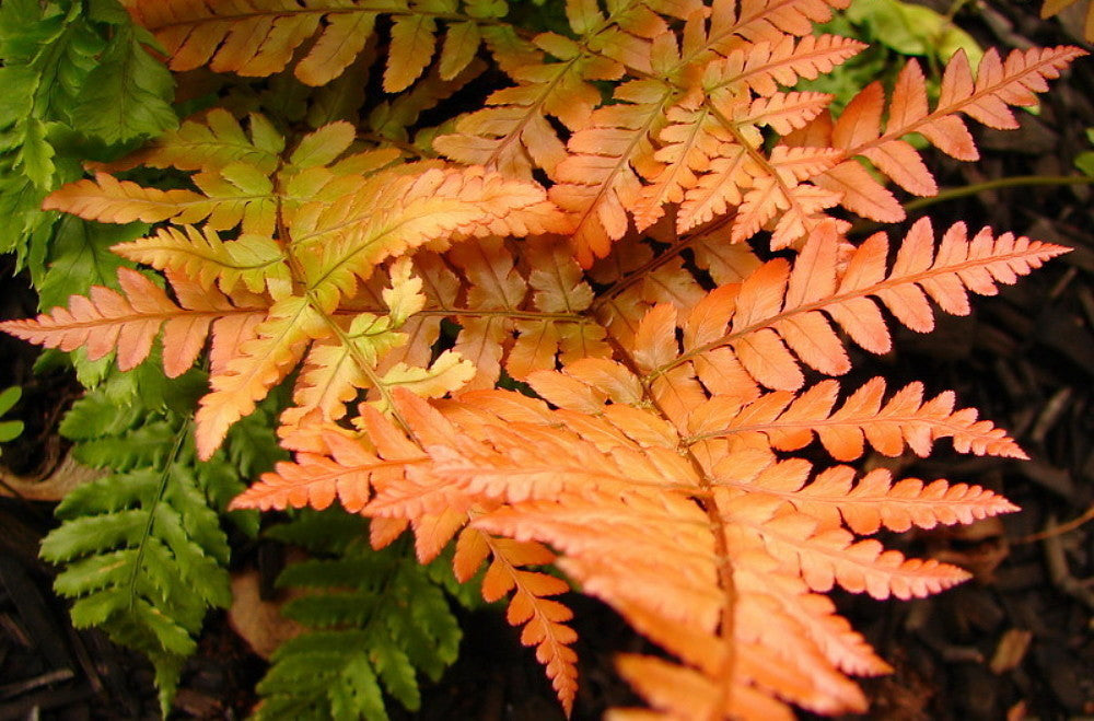 AUTUMN FERN, One of the showiest Ferns, dazzling display of color for every season-starting from copper to light green to orange copper.
