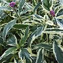 1 Gallon Pot: Eupatorium fortunei 'Pink Frost' Variegated Joe Pye Weed. Midsized, bush mound of toothed dark green leaves edged in creamy yellow, with small clusters of deep pink blooms in autumn. PIXIESDS_EGN