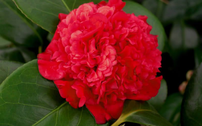 Camellia Professor Sargent -Scarlet Red Blooms against deep rich green glossy foliage