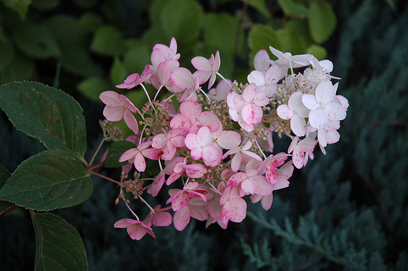 PINK DIAMOND HYDRANGEA,White flowers (july-sept) turn pink, for cold zones-1 gal