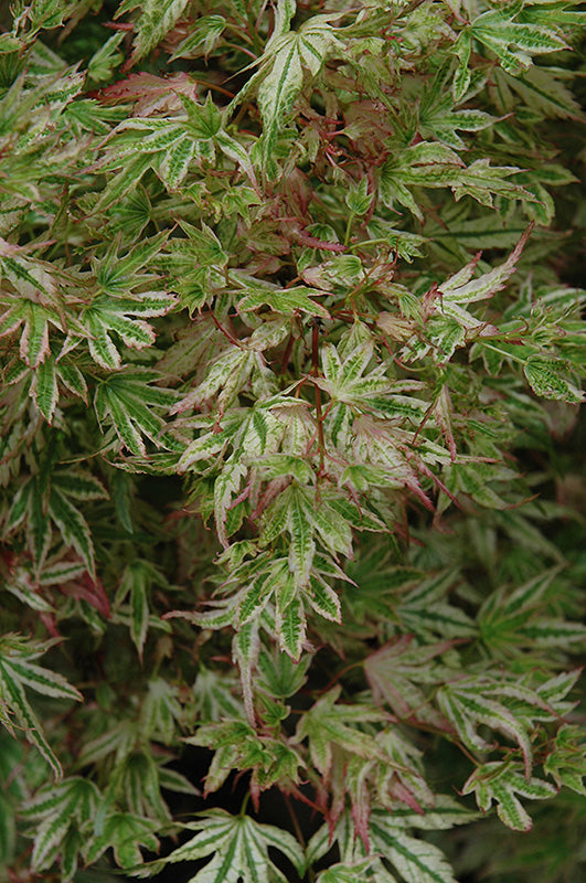 (2 Gallon) Alpenweiss Japanese Maple Tree- Gorgeous variegated leaves that turns nearly white and pink in the spring. As the leaves age they become mostly green with white borders.