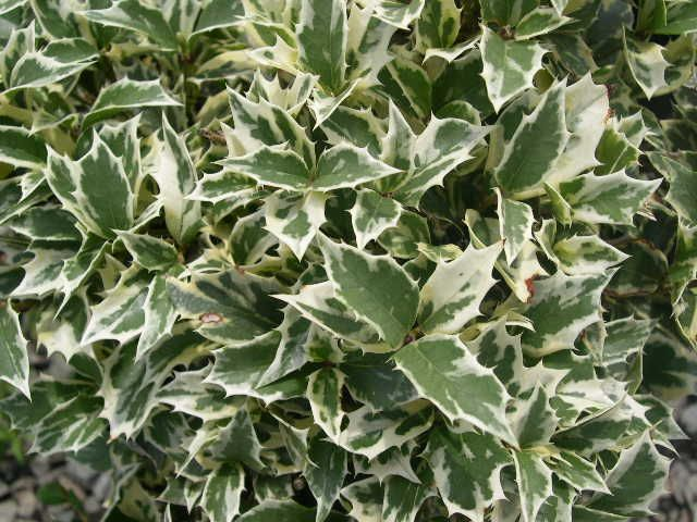VARIEGATED FALSE HOLLY- Small evergreen shrub, gorgeous variegated leaves