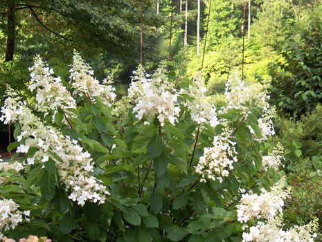 Chantilly Lace Hydrangea, sun loving and good for colder zones, spectacular white large panicles with showy four-sepaled flowers; Their ivory color matures to a soft pink by fall