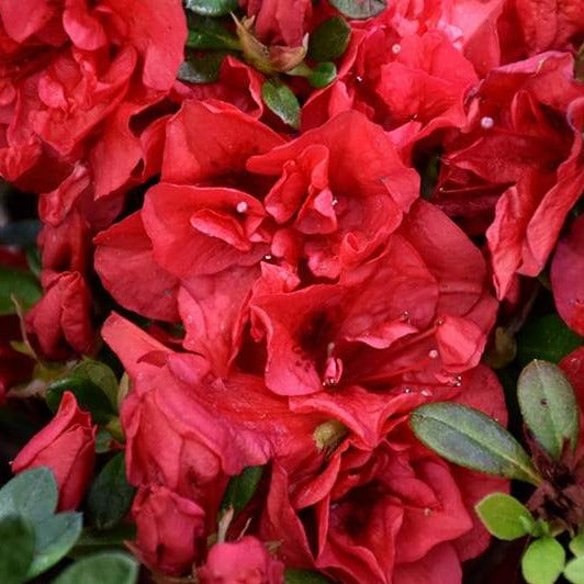 Autumn Fire Encore Azalea- Dwarf Azalea packs a powerful punch of rich, true red color with semi-double velvety blooms. PIXIES_DUD