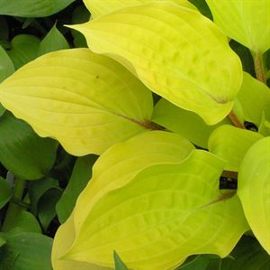 1 Gallon Pot: Hosta 'Fire Island'. Plantain Lily. Bright yellow leaves with contrasting red stems, leaves turn to darker green as season progresses, lavender flowers in mid summer, fast growing. PIXIESDS_EGN
