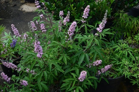 (1 gallon) Flora Ann Vitex Vitex agnus-castus a fast growing deciduous shrub or tree with eight-inch flower spikes of fragrant, showy, pink flowers Spring through Fall that attract butterflies.