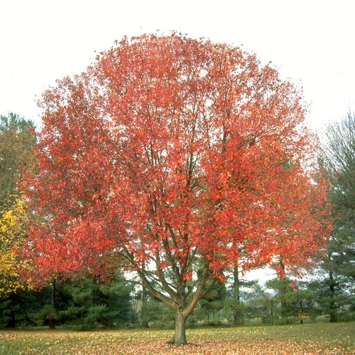 Acer rubrum 'Franksred' Red Sunset®