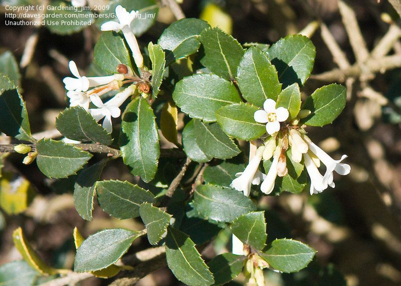 FRAGRANT TEA OLIVE- Sweet Intoxicating Fragrance with flowers blooming almost round the year. PIXIES_DUD