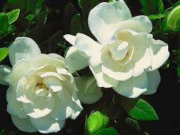 Frost Proof Gardenia- Fragrant Evergreen, Heat Loving evergreen shrub with intensely fragrant blooms. Can Handle Late Spring Frost