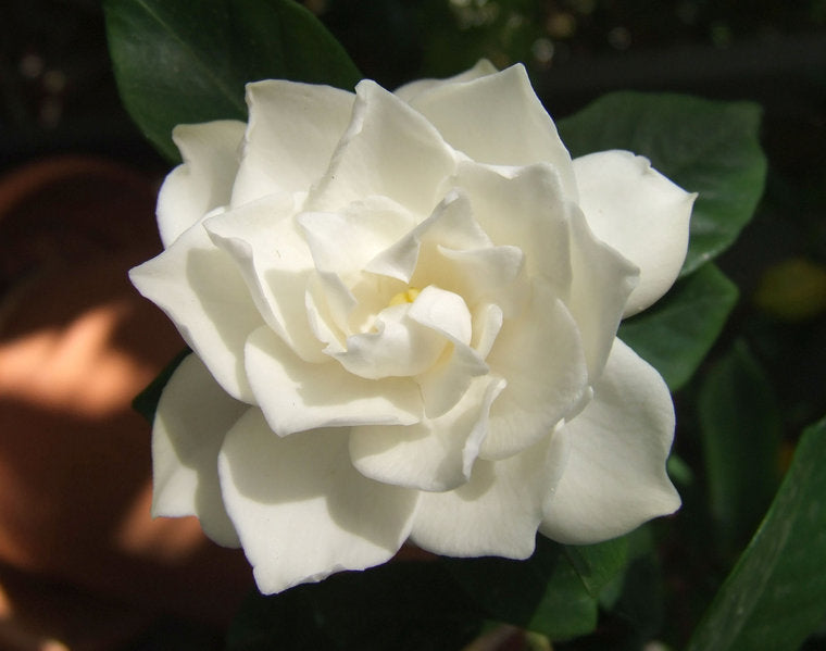 (1 Gallon) Crown Jewel Gardenia-This gardenia blooms twice a year, cross between chuck Hayes and Kleims Hardy, Cold Hardy, extremely fragrant Double white blooms