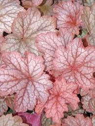 (1 Gallon) Heuchera x villosa Georgia Peach PP19375 - The 'Georgia Peach' is wide clump of large peachy-red leaves, each highlighted by darker red veining.