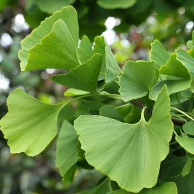 Ginkgo Tree Unusual Leaf- Great Yellow Fall Color, Historical Tree