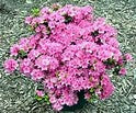 Girards Renee Michelle' AZALEA, Deep Pink Blooms, Evergreen Shrub, Cold Hardy upto -10 to 0 F PIXIES_DUD