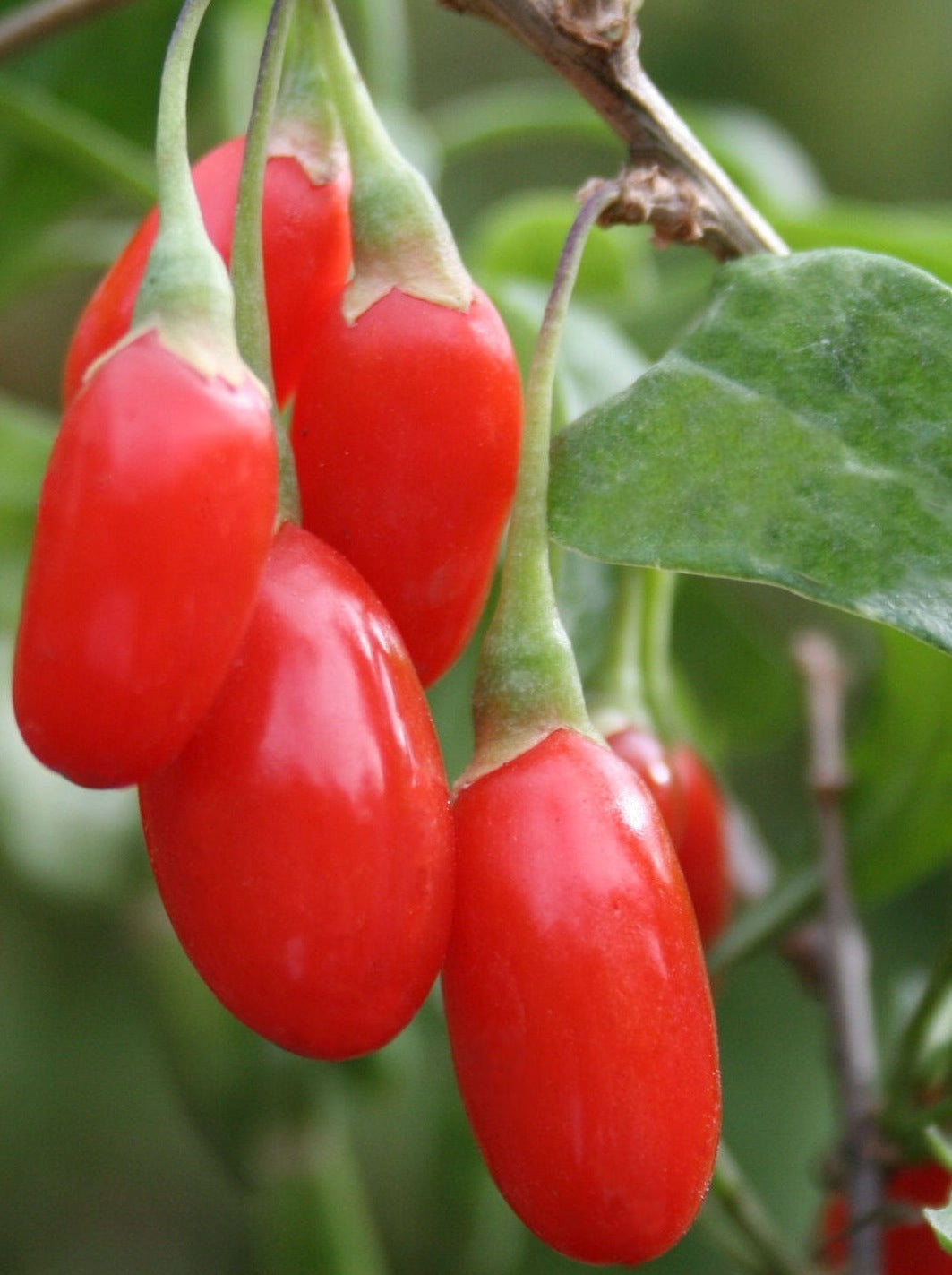 Goji Berry Wolfberry Bright Orange Red Berries Slightly Sweet