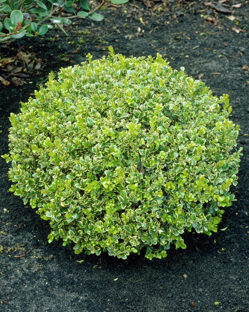 (1 gallon) Golden Dream Buxus -A compact, rounded shrub has bright green foliage edged in a golden yellow. This evergreen will reach 2 feet tall and wide at maturity. Thrives in moist, well-drained soil. Very resistant to Boxwood blight.