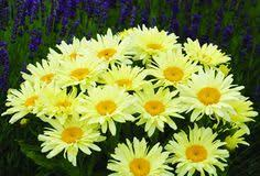 (1 Gallon) Leucanthemum x superbum Goldfinch PP24499 Shasta Daisy- This Exuberant Yellow-Flowering Bloomer Produces Large, Semidouble Flowers that Retain their Color Longer Than Most.