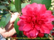 (1 Gallon)   Camellia Governor Mouton Flower Plant - Oriental Red