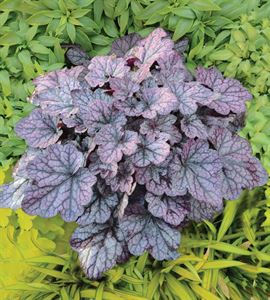 1 Gallon Pot: Heuchera Primo™'Black Pearl' PPAF Coral Bells, Alumroot. A Heuchera villosa hybrid with ruffled, shiny, jet black foliage, rosy purple undersides, and white flowers with a pale pink cast.