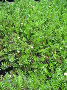 "(10 Count Flat - 4.5"" Pots) Green Brass Buttons (Groundcover) Tiny Green, Fern-like Leaves Turning Bronze in Winter, Yellow Flowers."