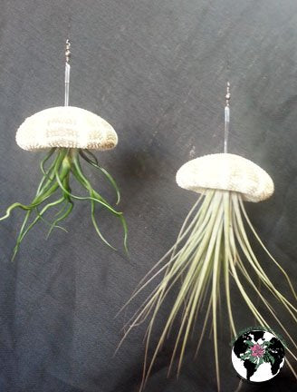 "(1) Hanging Sea Urchin With Plant 2-5""tall-BROMELIADS, Great for Terrariums,Excellent gifts, No soil needed, Gorgeous indoor plants, Evergreen Tillandsia, No Hassle plant"