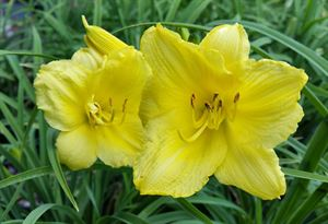 1 Gallon Pot: Hemerocallis 'Happy Returns' Daylily. Canary yellow flowers early in season, repeat bloomer.