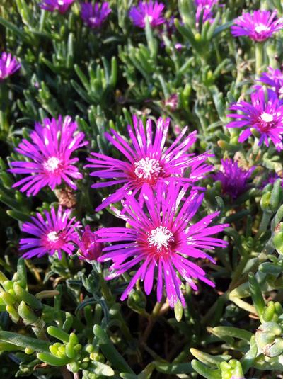 Delosperma Cooperi (Hardy Ice Plant)- Gorgeous purplish pink blooms, tough evergreen, mat forming ground cover that blooms all season.