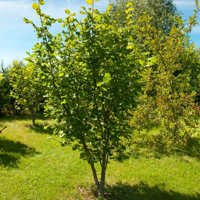 "American Hazelnut Tree- Small Productive, Rounded Tree/Shrub With of Clusters Small Round 1/2"" Long Nuts"
