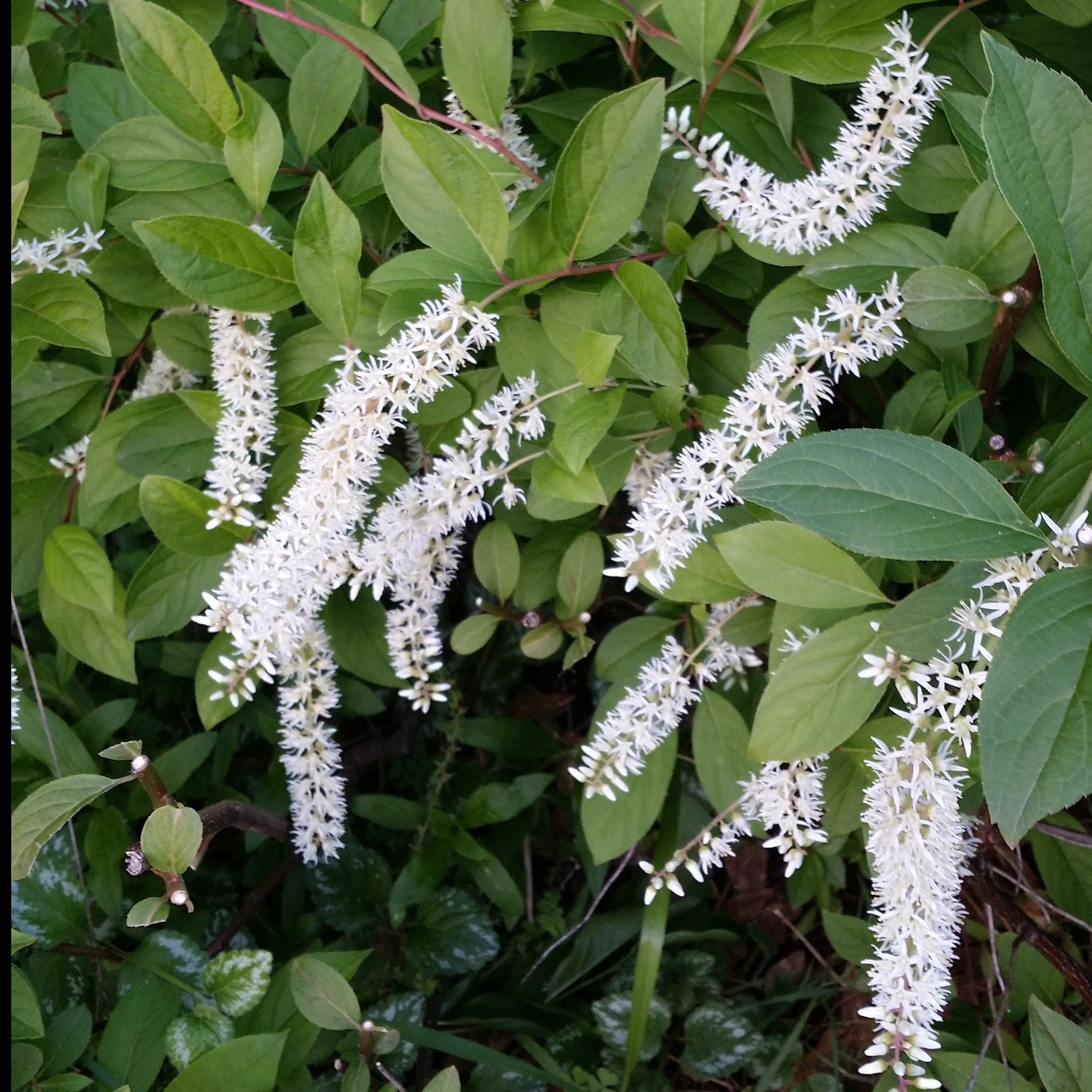 (2 Gallon) Henry's Garnet Sweetspire, Graceful Compact, Fragrant Drooping Spires, Native Plant