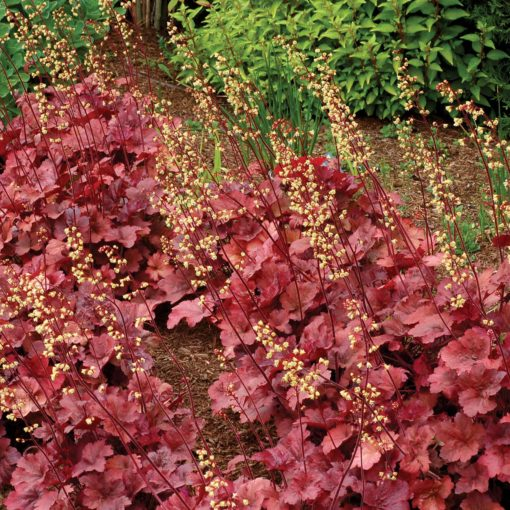 (1 Gallon) Heuchera micrantha 'Root Beer' CORAL BELLS, Evergreen, Root Beer-red colored foliage, creamy yellow flowers in May-June