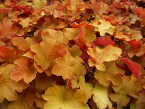 (1 Gallon Plant) Heuchera x villosa 'Caramel' CORAL BELLS- Evergreen, Leaves emerge gold in spring, progress to amber and peach, good for hot, humid regions, protect from afternoon sun, light pink flower in mid-summer.