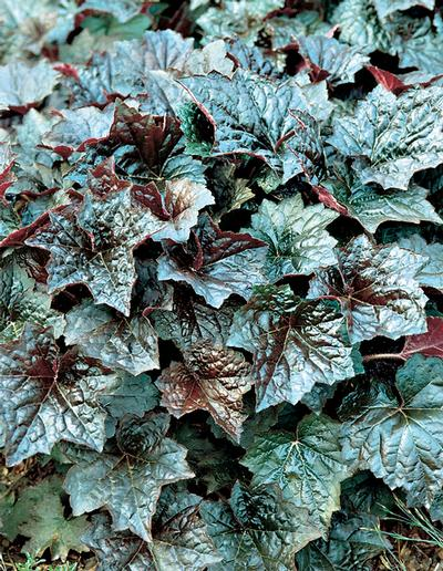 Heuchera micrantha 'Palace Purple' Palace Purple Coral Bells stands out with deep burgundy Purple leaves with beet red leaf backs. Summer heat turns the leaves to bronze green. Blooms are pinkish white. PIXIESDS_EGN