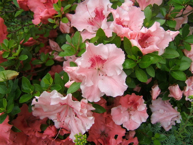 "Hilda Niblett AZALEA- Huge 4"" Soft Pink Blooms, Dwarf, Evergreen Shrub, Cold Hardy. Truly Beautiful, one-of-a-kind shrub."