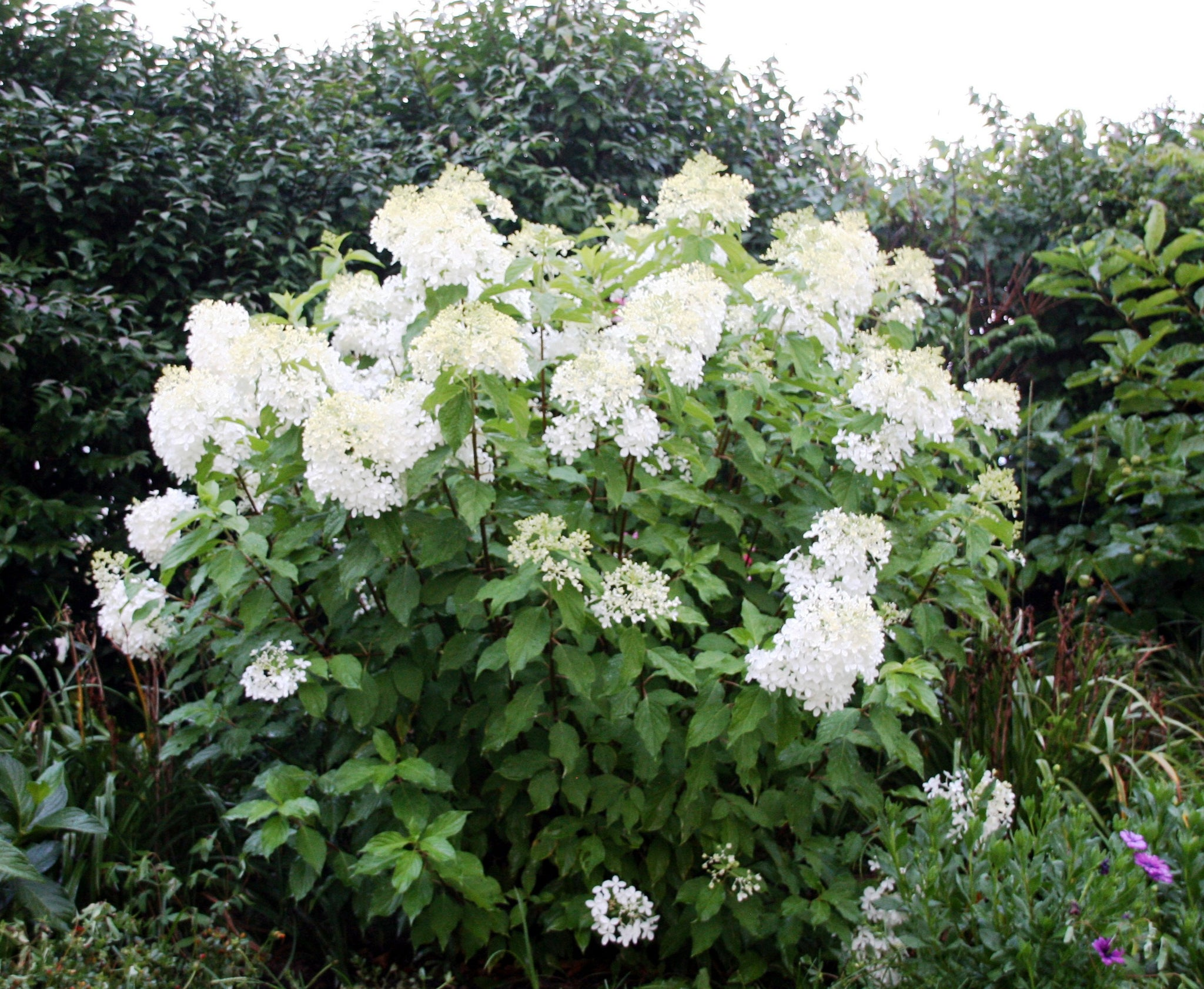 PHANTOM HYDRANGEA , FLOWER CLUSTERS OVER A FOOT,COLD HARDY (-30 TO-40F),TAKE FULL SUN,CAN GROW IN VARIETY OF CLIMATES, LOTS OF HUGE,WHITE FLOWERS,
