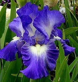 1 Gallon Pot: Iris germanica 'Autumn Circus' Bearded German Iris. Purple-blue flower, petals edged with white, blooms in spring and again in fall.