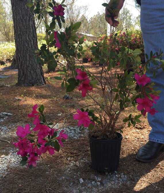 Red Formosa Hybrid Azalea plants, Amazing Amount of magenta red Flowers, Big Evergreen Shrub, Gorgeous In Any Landscape