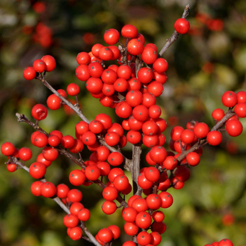 (3 Gallon) Winter Red Winterberry Holly is the cold hardiest of all Holly varieties.