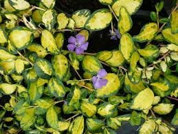 "(10 Count Flat-4"" Pots) Vinca minor Illumination -This is a prostrate evergreen perennial with a brightly variegated foliage and violet-blue flowers. PIXIES_DUD"