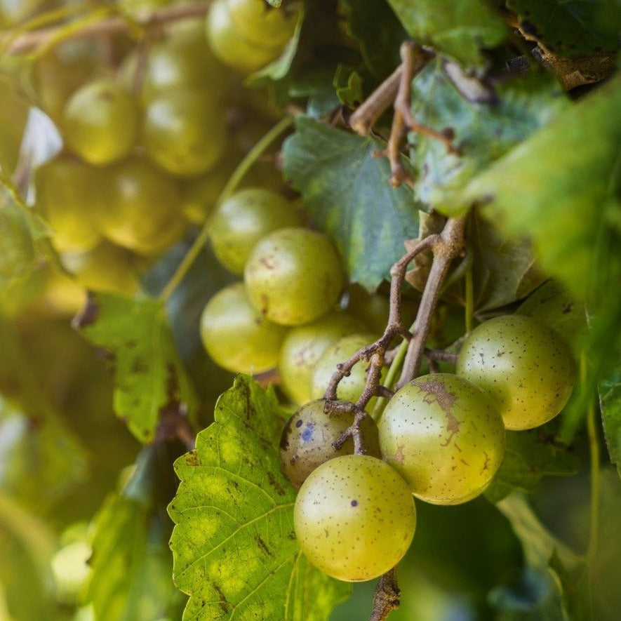 Scuppernong Grape Vine- Bronze Fruit, Medium in Size, the Oldest Cultivated Variety of Muscadines Dating Back to the 1500's