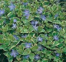 "(10 Count Flat-4"" Pots) Vinca major Variegata-This ground-hugging, evergreen, trailing groundcover has dark green leaves with yellowish-white edges."