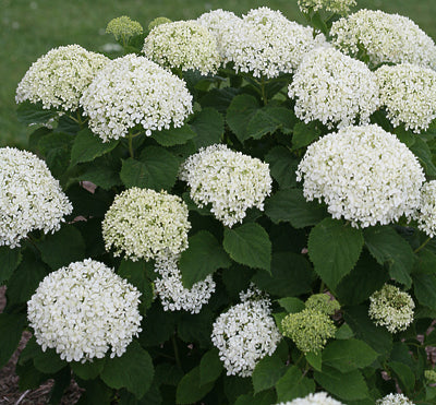 (3 Gallon) Invincibelle Limetta- Smooth hydrangea,This georgous perky plant blooms non-stop and its cool green flowers pair perfectly with most any plant or house color, so it's ideal for landscaping