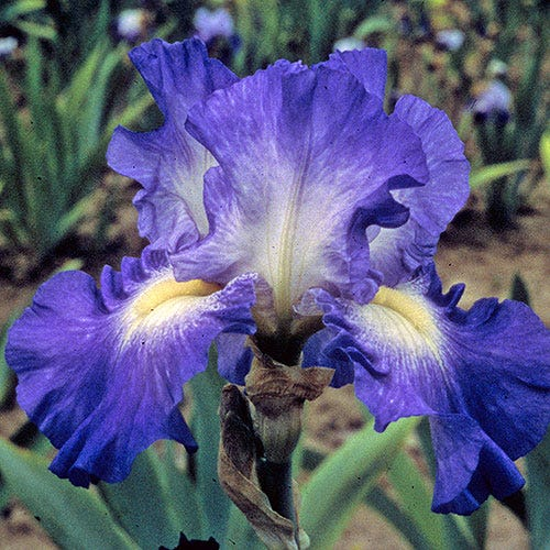 1 Gallon Pot: Iris germanica 'City Lights' Bearded German Iris. Violet blue with white center zones and pale yellow beard; blooms in May.