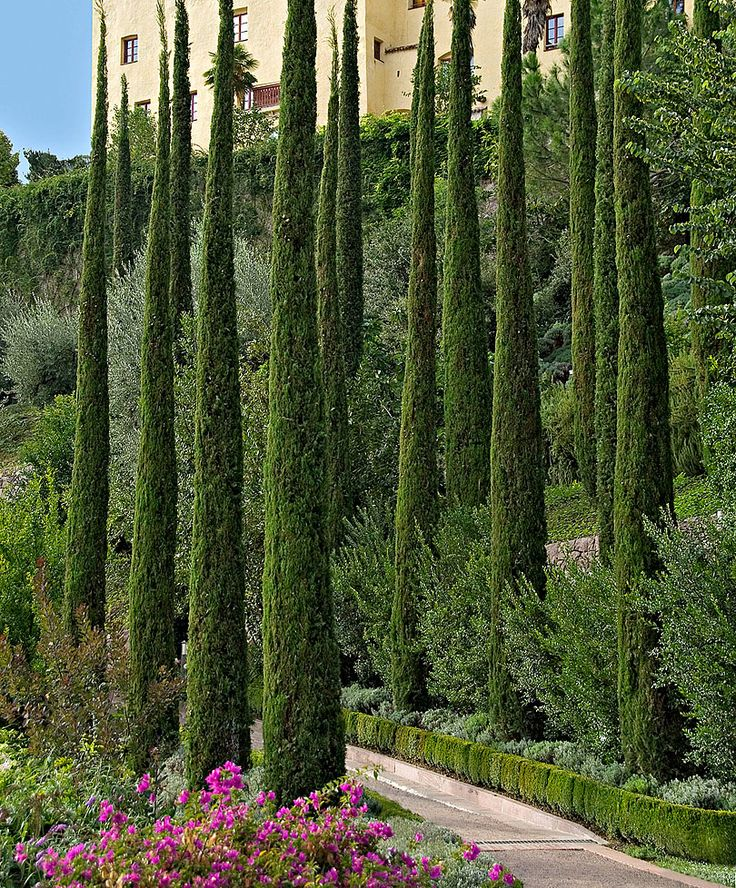 Italian Cypress is a strikingly thin tall and straight evergreen tree that grows in an elegant, narrow fashion. These fast growers can shoot up to 2-3 ft. a year while giving you dense foliage, soft texture and symmetrical shape. PIXIES_DUD
