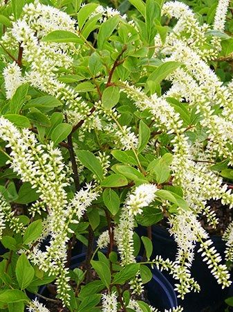 (1 Gallon) Little Henry Itea- Gorgeous white flowers that shoot like fireworks in the early summer.Great for grouping and for massing on large banks, in beds, and perennial and shrub borders.