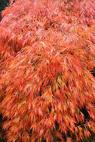 (1 Gallon) Acer Palmatum 'Orangeola' Japanese Maple trees one of the most outstanding laceleaf because of its unique orange color. Award of Merit at Boskoop, The Netherlands 1995.